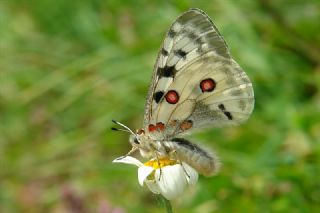 Apollo (Parnassius apollo)