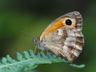 Pironiya (Pyronia tithonus)